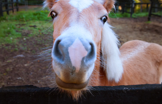 One-cheeky-Haflinger-Horse
