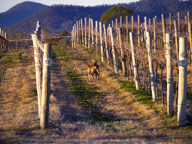 Big-roo-in-vines